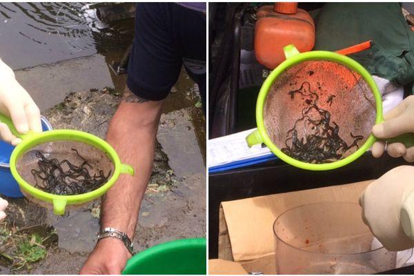 Opération de secours pour les anguilles du Gouessant