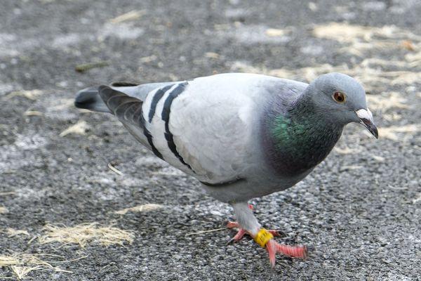 Un pigeon voyageur revient toujours chez lui. Photo d'illustration.