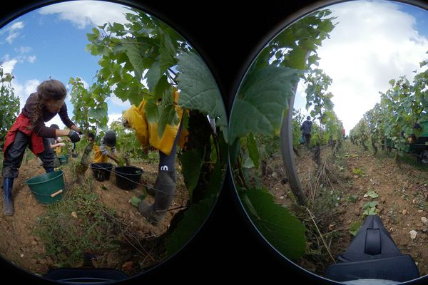 Les vendanges, moment où le raisin récolté est arrivé à maturité
