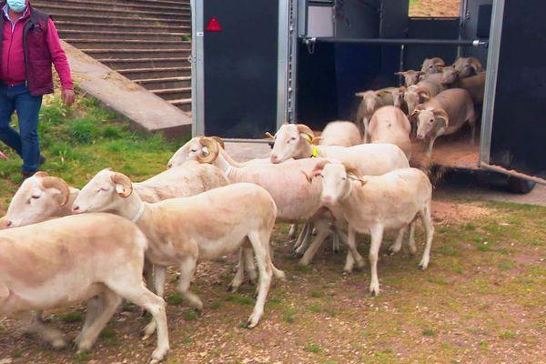 Une cinquantaine d'ovins lâchés pour entretenir 1,7 hectares de pentes herbues