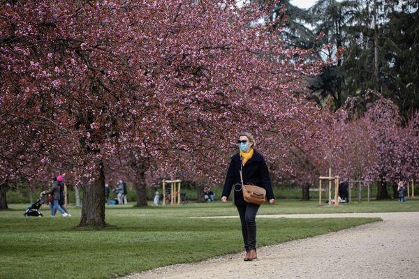 Cerisiers en fleurs au parc de Sceaux, dans les Hauts-de-Seine