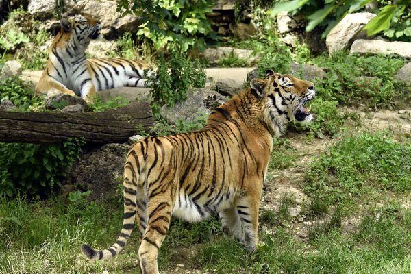 Au parc zoologique de la Citadelle de Besançon, le tigre de Sibérie fait partie du programme européen pour les espèces en danger.