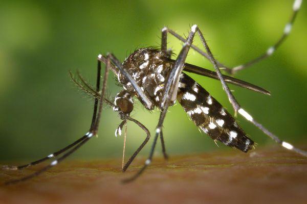 """Un moustique-tigre durant sa """"pause-repas""""."""