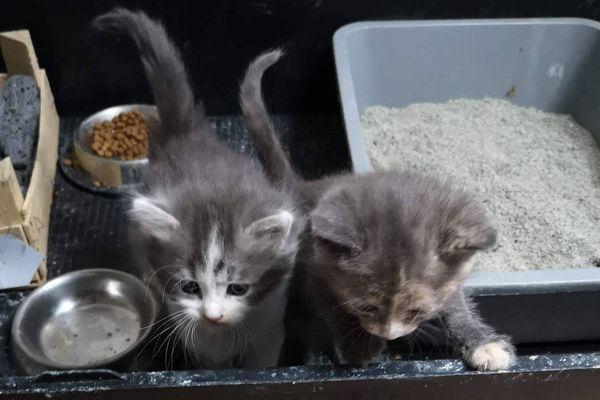 Ces deux chatons ont été placés en quarantaine par les bénévoles de l'association Chathuttes, pour détecter d'éventuelles pathologies.