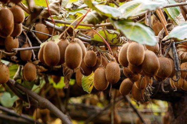 Des kiwis prêts à être récoltés.