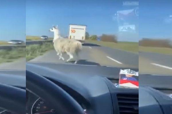 Samedi 16 mai dans la matinée, un lama a parcouru plusieurs kilomètres sur la Nationale 2 entre l'Aisne et l'Oise avant d'être attrapé par les gendarmes.