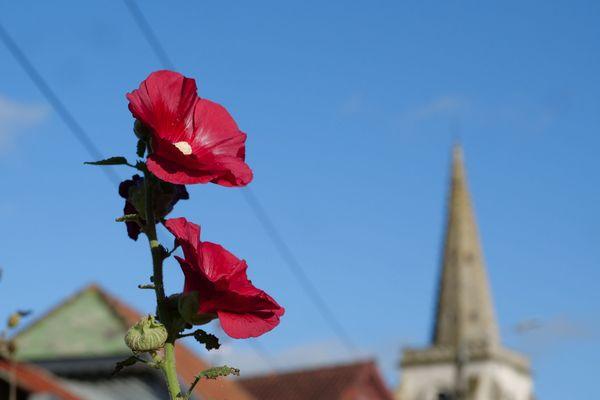 Une rose trémière de Boubers-sur-Canche