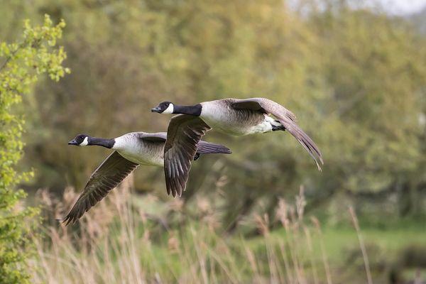 Ces oiseaux migrateurs sont une espèce protégée aux Etats-Unis.