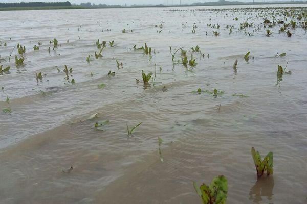 Un champ de betteraves inondé