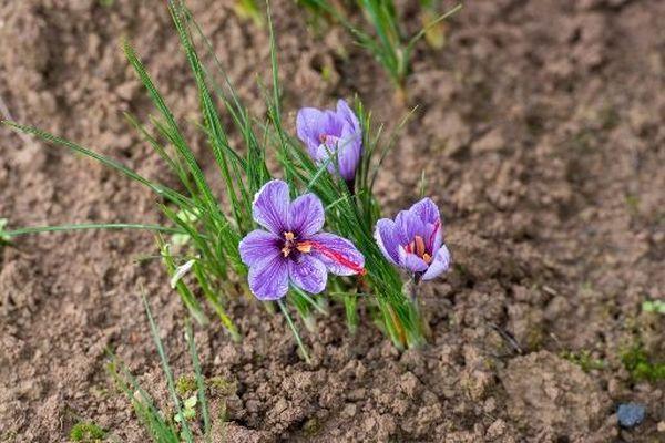 Chaque fleur produit un pistil composé de 3 stigmates, qui est ensuite séché, perdant ainsi 80% de son poids
