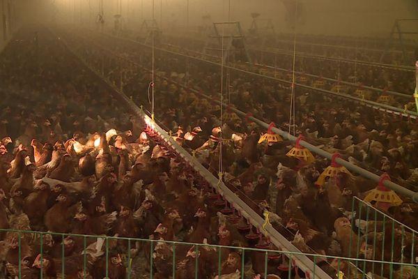 Depuis une semaine, ces 20 000 poules pondeuses sont bloquées à Bourgougnague dans le Lot-et-Garonne. Elles auraient du rejoindre les Landes pour s'y ébattre en plein air. Mais avec l'épizootie de grippe aviaire, les circulations de volatiles sont interdites.