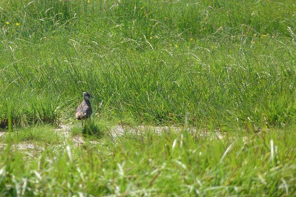 Un vanneau huppé dans son habitat, une prairie humide d'un marais du Devès. Il est très rare en Haute-Loire, et des actions sont menées pour préserver les sites de nidifications potentiels.
