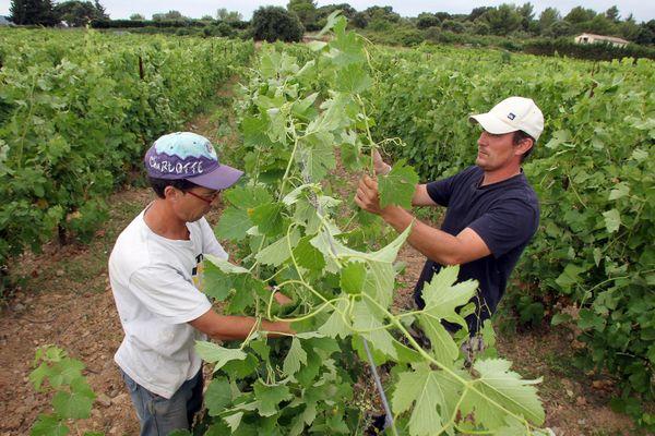 En Languedoc, les viticulteurs attendent avec impatience les premières décisions de l'administration Biden (ici la préparation des vignes à Saint-Georges-d'Orques (Hérault), photo d'illustration).
