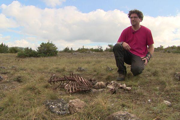 Frédéric Goujon près d'un cadavre de l'une de ses brebis probablement tuée par un loup à L'Hospitalet-du-Larzac (Aveyron)