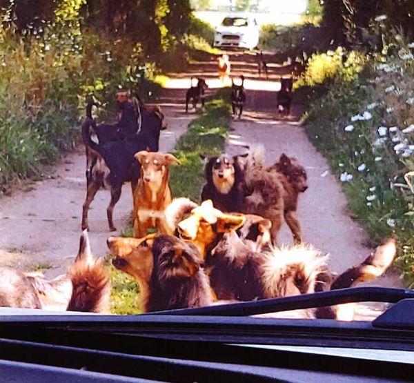 Les chiens sont apparemment tous issus de la même lignée.