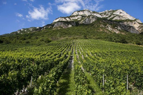 Certains vignobles savoyards ont été anéantis par la grêle tandis que d'autres profitent d'une belle récolte à venir. Photo d'illustration.