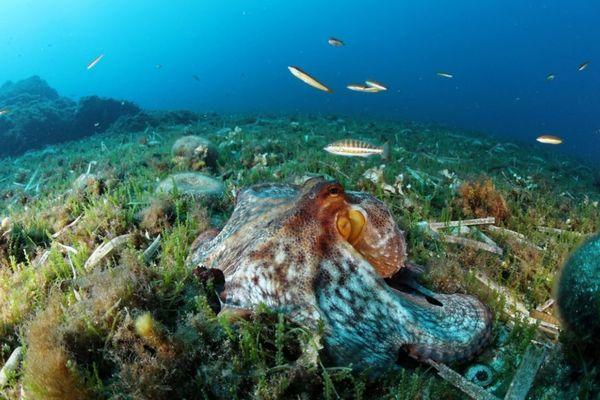Pendant la période estivale, la femelle poulpe s'occupe de ses nombreux oeufs et est particulièrement vulnérable.