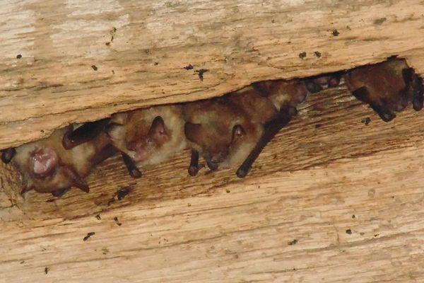 La prospection a permis de découvrir 100 murins à oreilles échancrées. C'est la 1ere colonie de reproduction de cette espèce recensée en Eure-et-Loir.