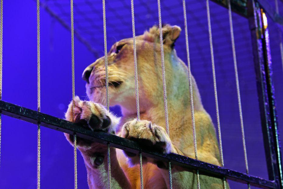 A Bourges, il n'y aura plus de cirque avec animaux sauvages