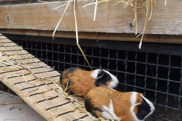 Les visiteurs pourront découvrir les cochons d'inde arrivés pendant le confinement.