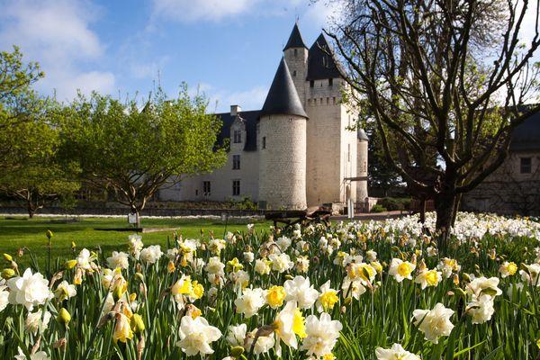 Au château du Rivau (37) les jonquilles Pinapple Prince commence déjà à défleurir