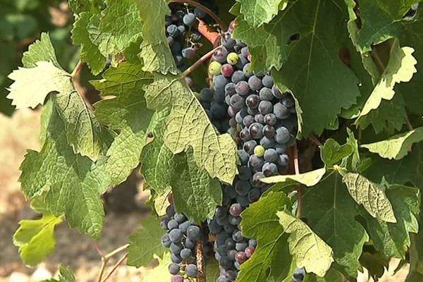 Pour irriguer ce vignoble du nord-ouest de Montpellier, le viticulteur utilise de l'urine comme engrais. Une démarche écologique qui dénote dans le milieu de la viticulture languedocienne.