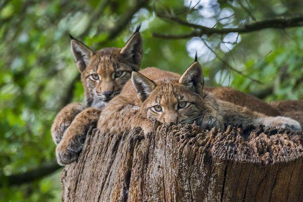 Deux jeunes lynx boréals se reposent en forêt, le 23 septembre 2020.