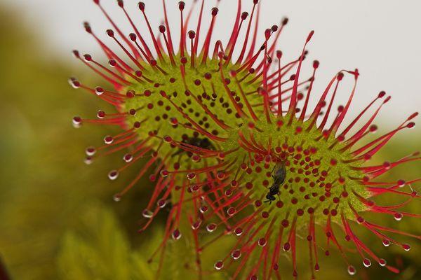 La drosera plante carnivore emblématique de l'habitat des tourbières