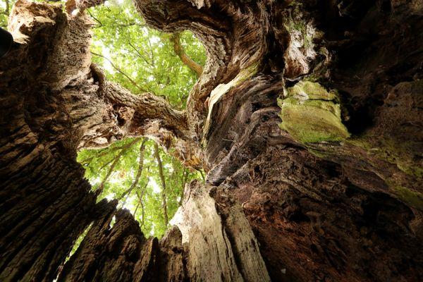 Chêne creux, arbre vétéran dans le Finistère à Sérignac.