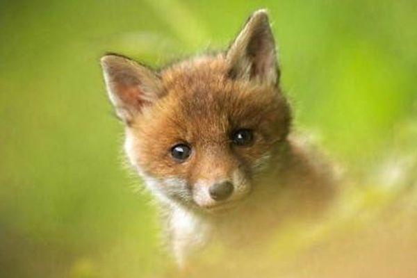 Un renard saisi par le photographe