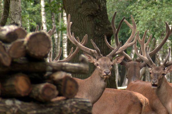 L'espace Rambouillet dans les Yvelines dispose de 200 hectares clôturés où vivent des cerfs, des biches ou encore des chevreuils.