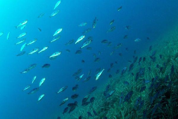 Des expériences ont été menées en baie de Cannes sur une espèce de poissons non-migratoire.