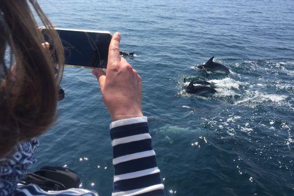 Les curieux ont pu observer un groupe d'une centaine de dauphins communs, ce vendredi.
