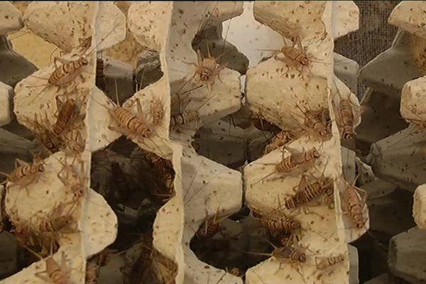 Mayenne : une start-up fait l'élevage de grillons. La société Kibo basée à Congrier développe des produits alternatifs de consommation à base de grillons.
