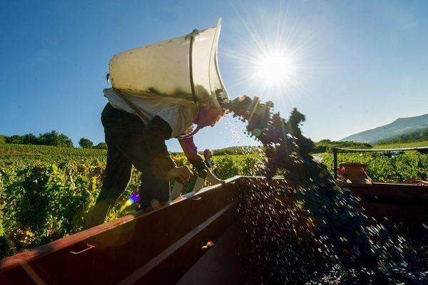 Aujourd'hui, le vignoble auvergnat s'étend sur 800 hectares.