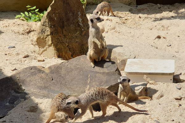 Des suricates du zoo de Lille.