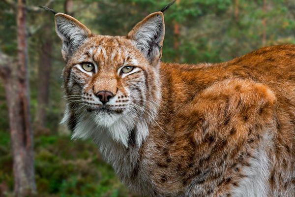 Un lynx boréal, espèce protégée, a été tué dans le massif vosgien où sa population est réduite à quelques individus