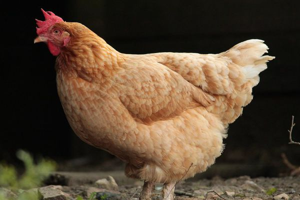 La poule : le nouveau composteur sur patte de la commune du Cendre (63)
