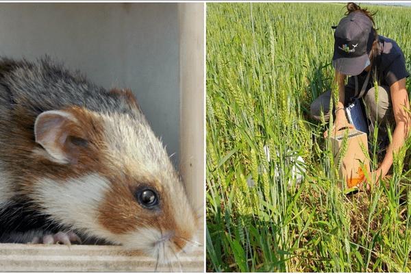 Le grand hamster, né en élevage, mais prêt à retrouver la nature : 61 d'entre eux ont été relâchés aujourd'hui dans un champ, à Entzheim.