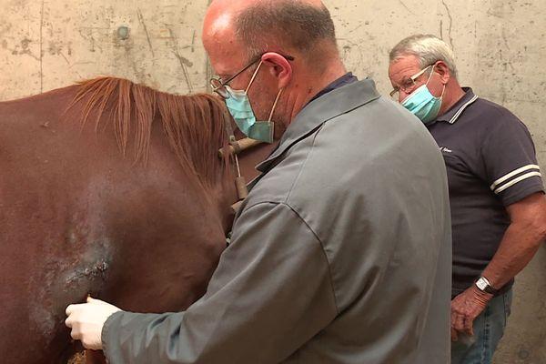 Le vétérinaire soigne une plaie de 15 cm sur le flanc de la jument