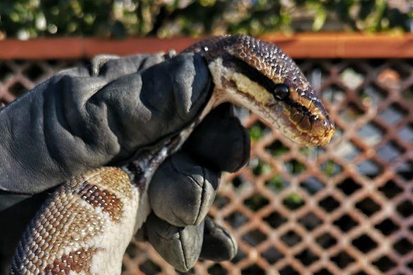 Il n'est pas interdit de posséder un python, mais c'est soumis à une déclaration