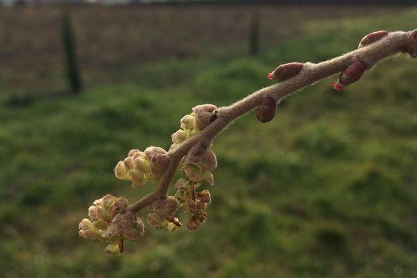 Des bourgeons ont déjà commencé à se développer sur les arbres fruitiers en cette fin janvier