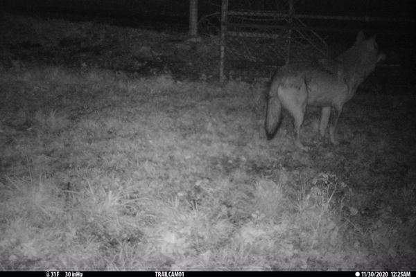 L'un des loups échappés du Sanctuaire le 13 novembre, a été photographié cette nuit dans les Deux-Sèvres.