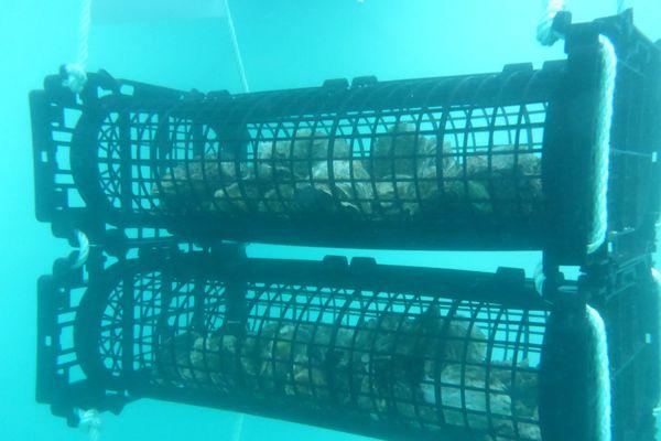 Les huîtres sont placées dans des cages métalliques.