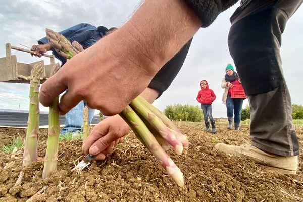 Dans la Vienne, les producteurs d'asperges sont à la recherche de main d'oeuvre pour la récolte.