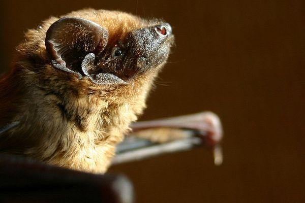 La Noctule commune a été élue chauve-souris de l'année 2017 par Batlife Europe