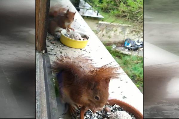 Des écureuils voisins d'une habitante de Lamorlaye dans l'Oise.