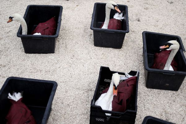 Les cygnes de Bruges ont été attrapés et transportés jusqu'au refuge sécurisé dans ces boites.