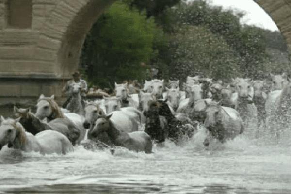 """La """"gaze"""" des chevaux dans le Vidourle, à Sommières - archives"""