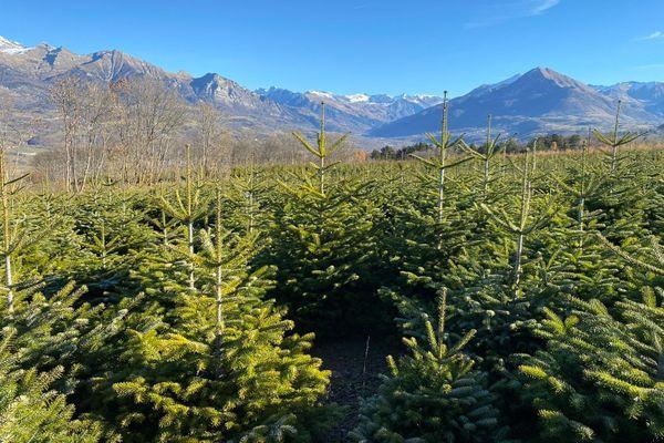 La pépinière Robin produit des sapins dans les Hautes-Alpes sur 300 hectares